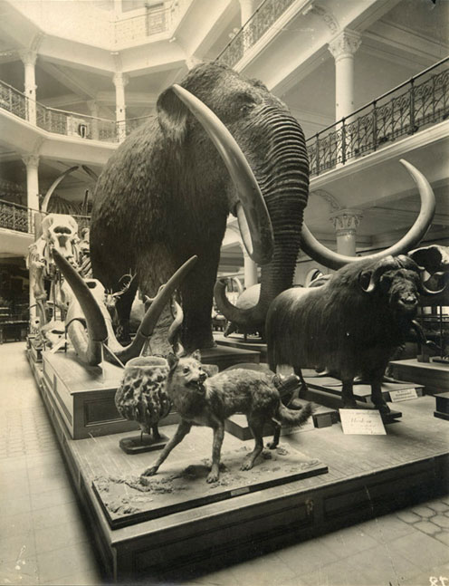 The Long-gone California Academy Mammoth, which was destroyed by the Great Quake of 1906