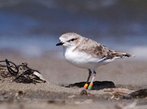 The endangered snowy plover (courtesy U.S. Fish and Wildlife Service)